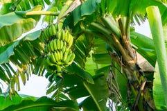 束在树的香蕉 库存照片