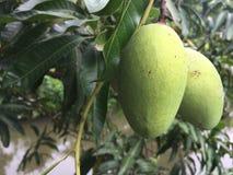 束在树的绿色芒果 (选择聚焦) 库存照片