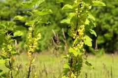 束在灌木的成熟的白色无核小葡萄干 免版税库存照片