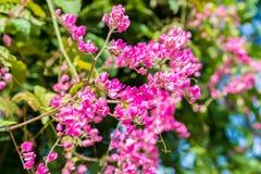 束在热带藤的桃红色花 免版税库存照片