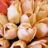 束在特写镜头,桃子的郁金香,桃红色 库存图片