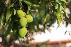 束在芒果树的绿色未成熟的芒果 免版税库存照片