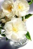 束在花瓶的空白玫瑰 库存图片
