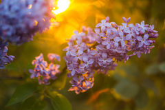 束在落日的光芒的丁香 免版税库存照片