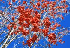 束在蓝天背景的红色花揪  免版税库存图片