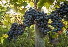束在行的红葡萄酒葡萄 免版税图库摄影