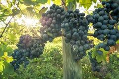 束在行的红葡萄酒葡萄 库存照片