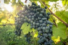 束在行的红葡萄酒葡萄 图库摄影