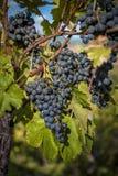 束在行的红葡萄酒葡萄 免版税库存照片