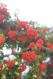 束在迷离背景的红色花揪与bokeh 免版税库存图片