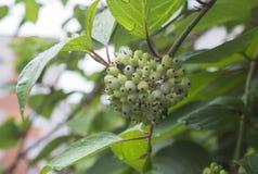 束在雨以后的绿色莓果 免版税图库摄影