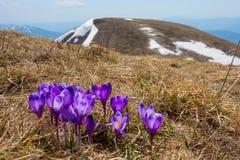 束在Bliznica山,乌克兰顶部的巨型番红花 免版税库存图片