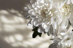 束太阳点燃了形成阴影的白色翠菊 库存图片