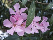 束夹竹桃软绵绵地上升了与绿色叶子的开花的花接近看法 库存图片