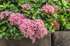 束小的桃红色在绿色叶子的瓣Ixora杂种开花,知道作为西部印度照片的茉莉花或密林火焰关闭 免版税图库摄影