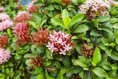 束小的桃红色在绿色叶子的瓣Ixora杂种开花 免版税图库摄影
