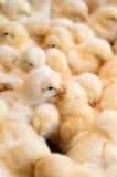 束小鸡 免版税库存图片