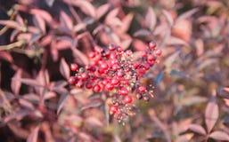 束山楂树红色莓果 库存图片