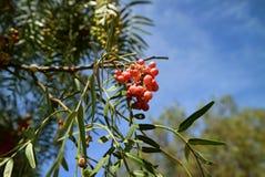 束常绿灌木molle或秘鲁胡椒明亮的桃红色颜色果子在树反对晴朗的蓝天 免版税图库摄影