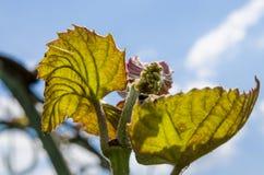 束年轻葡萄在太阳的光芒的下庭院里 免版税库存照片