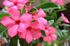 束开花塔粉红色结构树 免版税库存图片