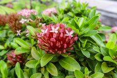 束微小的桃红色在绿色叶子的瓣Ixora杂种开花,知道作为西部印度茉莉花或密林火焰 免版税库存图片