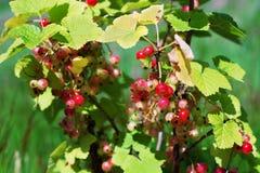 束成熟在灌木的红浆果 图库摄影
