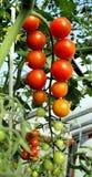 束成熟红色蕃茄 免版税库存图片