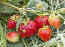 束成熟草莓 免版税库存图片