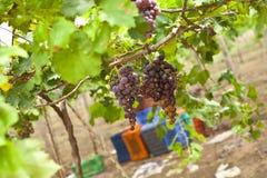 束成熟葡萄在葡萄园里 免版税库存照片