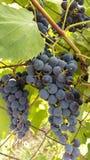 束成熟葡萄在藤垂悬 图库摄影