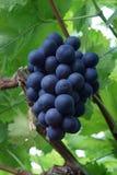 束新鲜的蓝色荷兰消耗量葡萄 库存照片