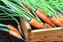 束新鲜的被收获的红萝卜,土壤背景 库存照片