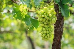 束新鲜的绿色葡萄在葡萄园里 库存图片