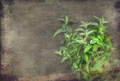束新鲜的绿色薄菏 库存照片