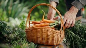 束有机红萝卜在农夫手上 股票视频