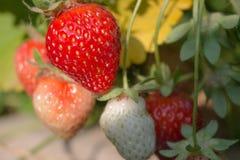 束有机草莓 免版税库存照片