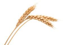 束查出的麦子 库存图片