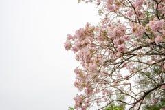 束桃红色喇叭灌木开花的树开花在春天在绿色叶子分支和枝杈,在云彩和天空蔚蓝下 库存图片