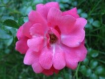 结束桃红色玫瑰色 库存照片