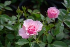 束桃红色瓣玫瑰在被弄脏的背景的绿色叶子进展 库存图片