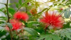 束桃红色红色粉扑开花植物的蓬松瓣,叫作在豆科植物类家庭的红色顶头粉扑在植物 库存照片