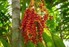 束槟榔树catechu果子 库存照片