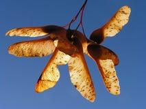 束槭树种子 免版税库存照片
