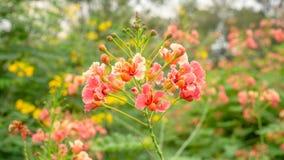 束橙色瓣孔雀的冠知道作为开花在绿色叶子在a的被弄脏的背景的引人注目的巴巴多斯岛或花fecne 免版税库存照片