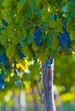 束浅重点的葡萄非常 库存照片