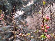 束淡粉红的芽 图库摄影