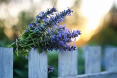 束淡紫色在夏天晚上日落开花 图库摄影