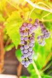 束淡紫色葡萄在葡萄园里 库存图片