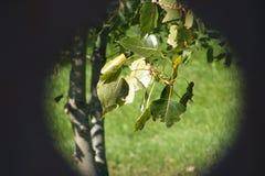 束生存白杨树离开与对晴朗的春天的小插图作用,夏日 免版税库存图片